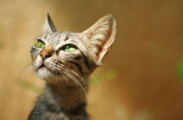 Туберкульозу схильні більше кішки, що живуть при клініках або диспансерах