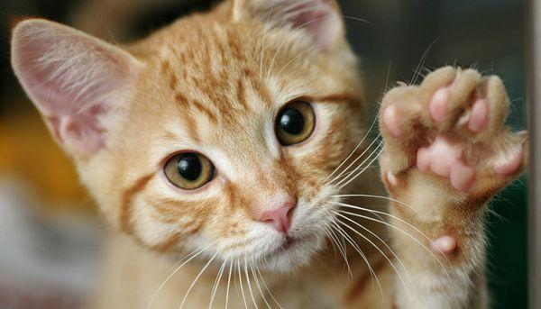 Терапія хвороби котячих подряпин проводиться антибактеріальними засобами