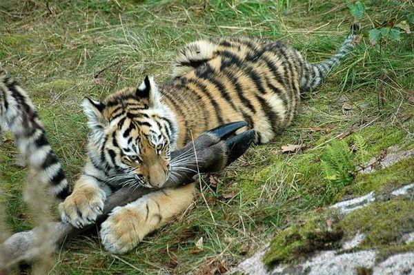 Samica tigra na obed