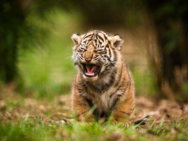 Malý tiger