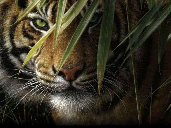 tigrí pohľad