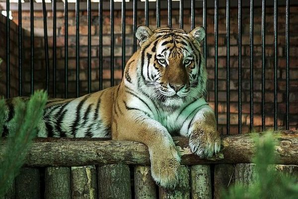Tiger v zoo
