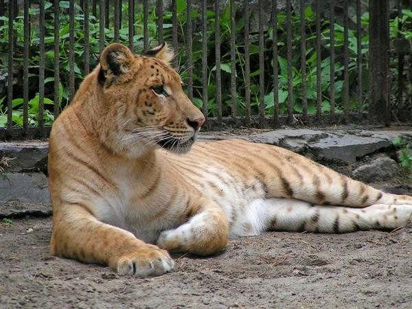 Kríženec tigra a leoparda