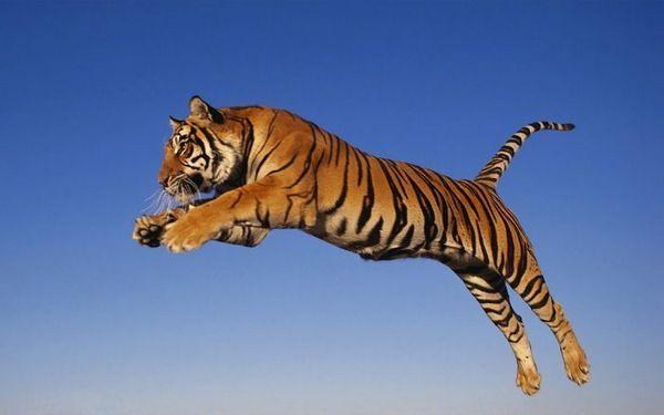 Skákanie tigra