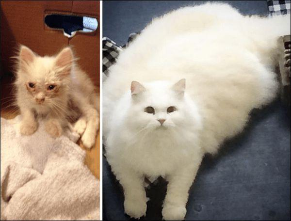 Кошеня, що виріс в пухнастого кота