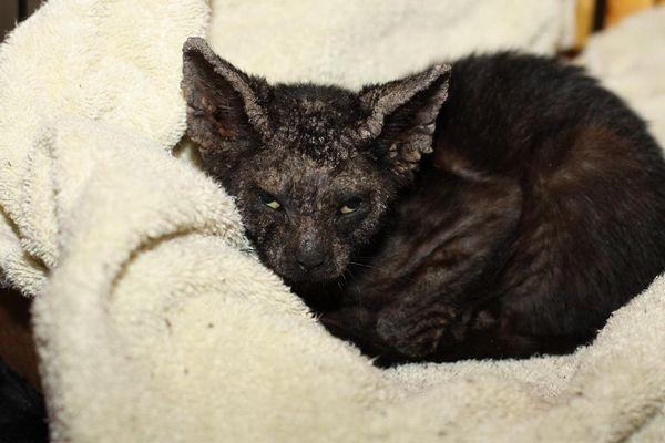 Нотоедроз у чорної кішки