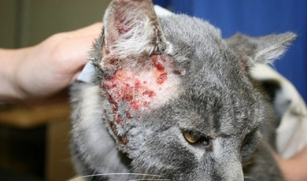Атопічний дерматит у кішки