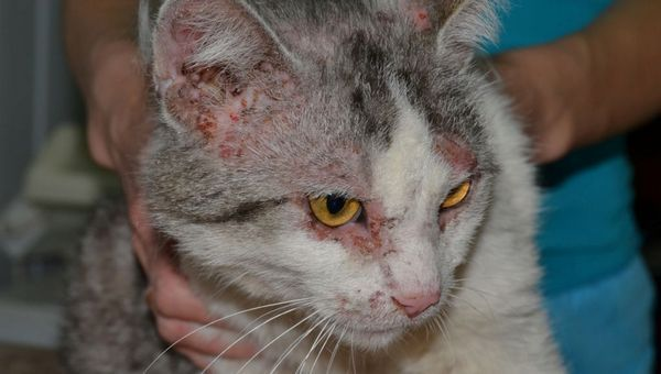 Демодекоз у кішки
