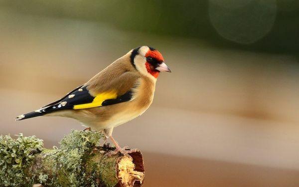 декоративні птиці