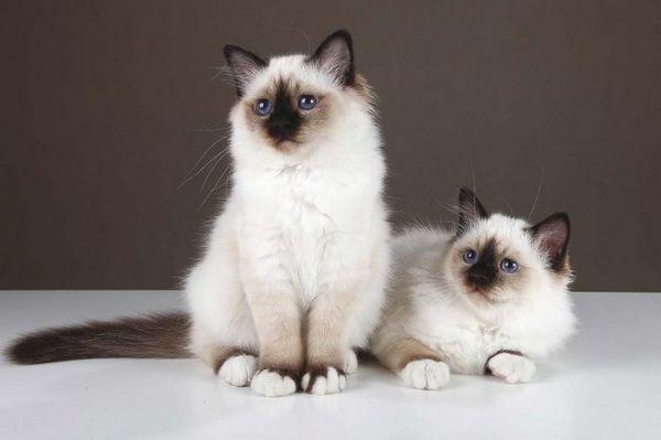 Постановочне фото бірманських кішок