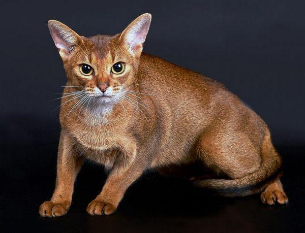 Абиссинская кішка - постановочне фото
