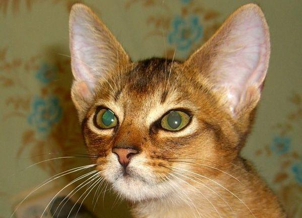 Кішка абіссінської породи на тлі стін