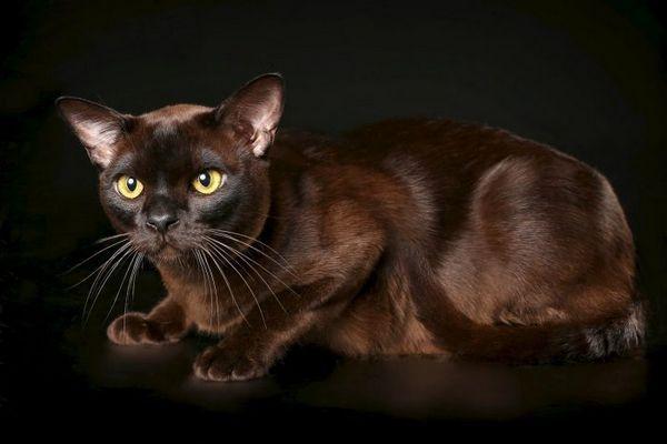 Бурманська короткошерста кішка американського типу на темному тлі