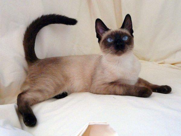 Сіамський кіт на подушках