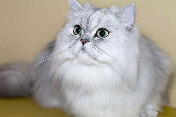 «Диванна кішка»