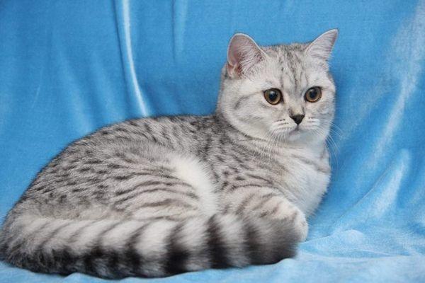 Британська короткошерста кішка на блакитному тлі