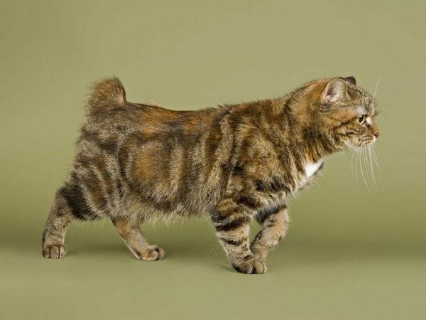 Безхвостий кіт