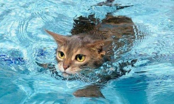 10 Plemien mačiek, ktoré radi plávajú