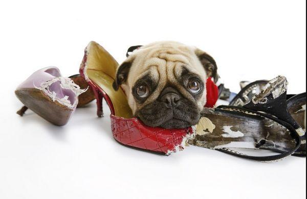 10 Plemien psov, ktoré prežúvajú všetko v domácnosti