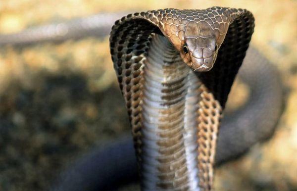 Kráľ kobra