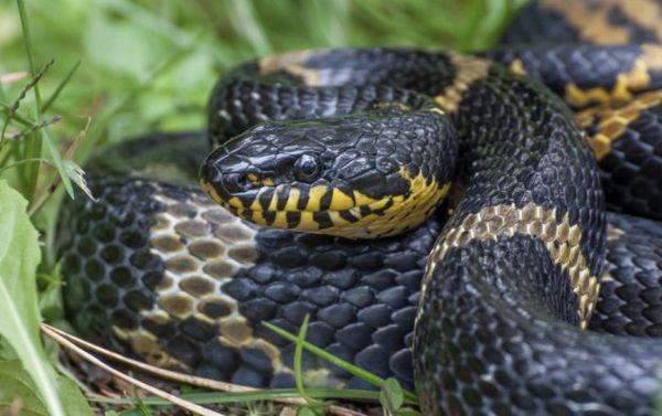 Amurský had