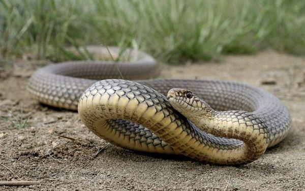 Had žltý