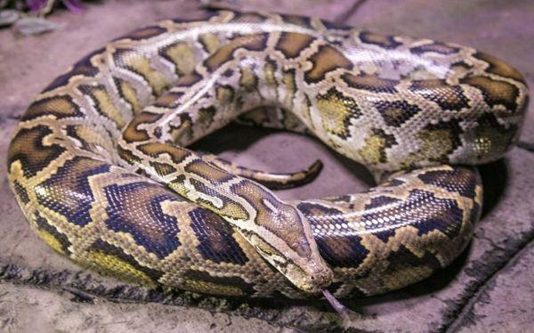Svetlý tigrí python