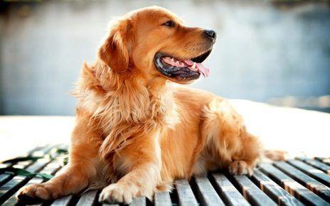 Золотистий ретрівер - найдобріша собака в світі