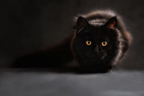 Породи чорних кішок