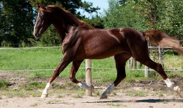 Американська верхова кінь.