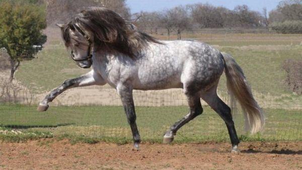 Сіра андалузька кінь