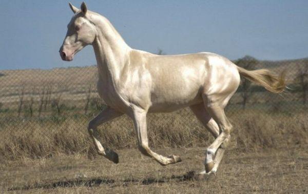 Ізабелловий масть коней