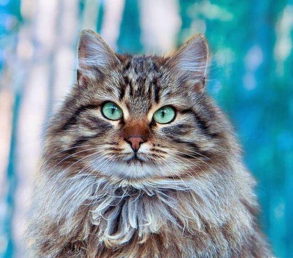 Сибірська кішка