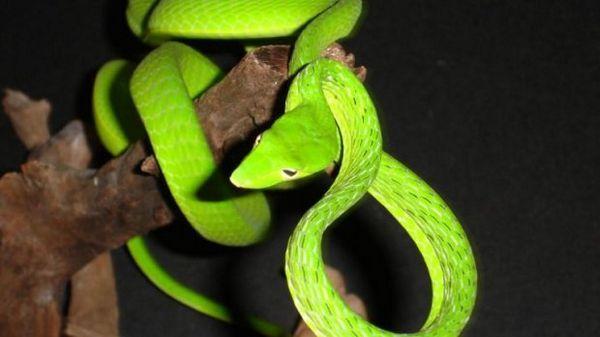 Зелена батігоподібна змія