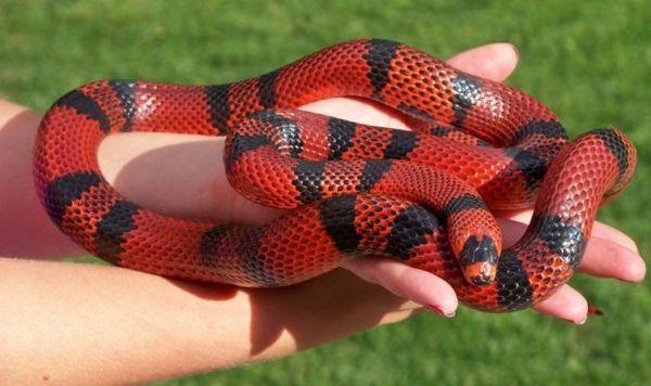 Молочна змія