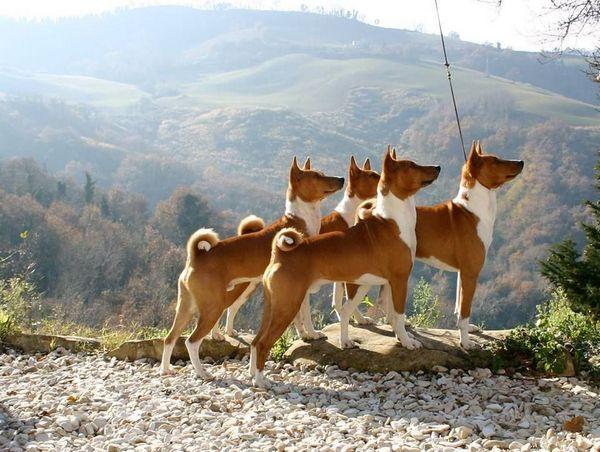 Породи собак середніх розмірів