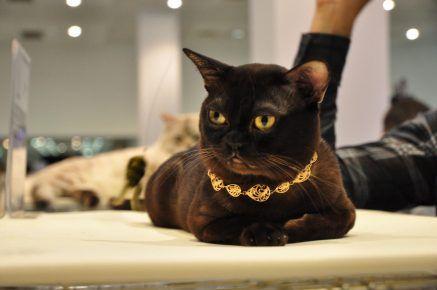 Бурманська кішка в золотом нашийнику