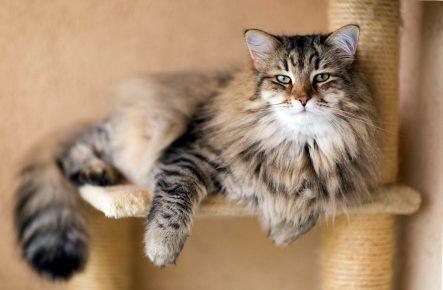 Сибірська кішка лежить