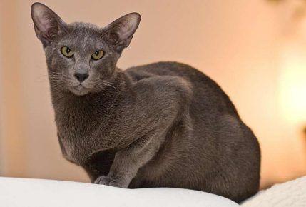Орієнтальна кішка сидить