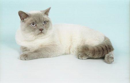Біла британська кішка