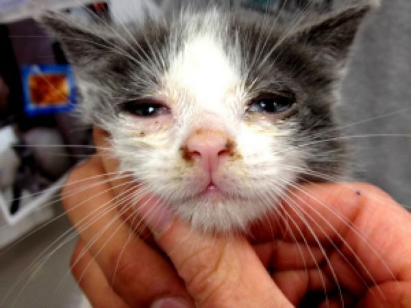 Ознаки котячої чумки