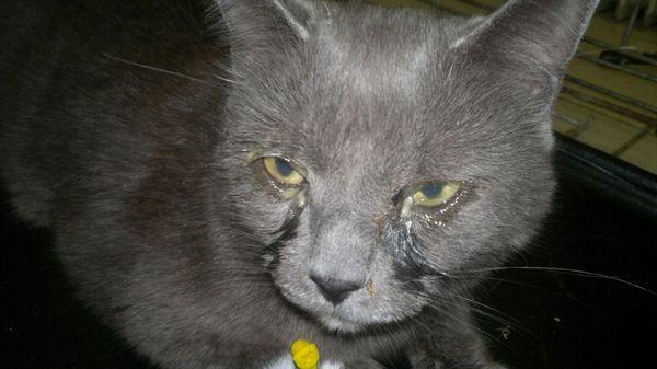У кішок хламідіоз формує хронічну інфекцію верхнього і нижнього відділу дихальної системи