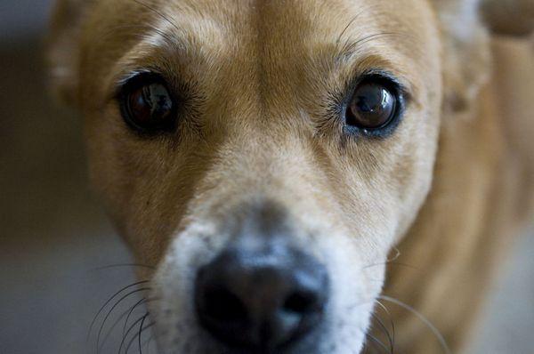 11 Očných chorôb u psov a ako s nimi zaobchádzať