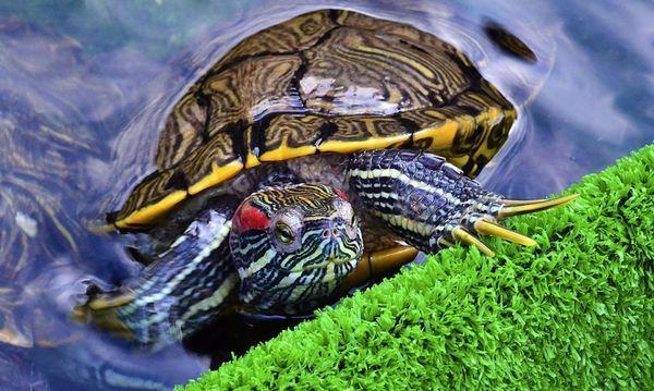 11 хвороб червоновухих черепах, симптоми і методи лікування