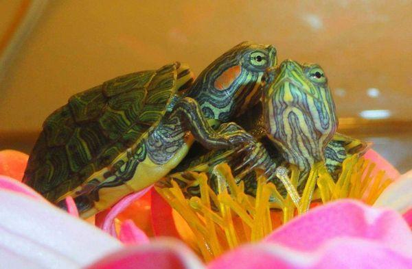 Отит водних черепах пов`язаний з гіповітамінозом А