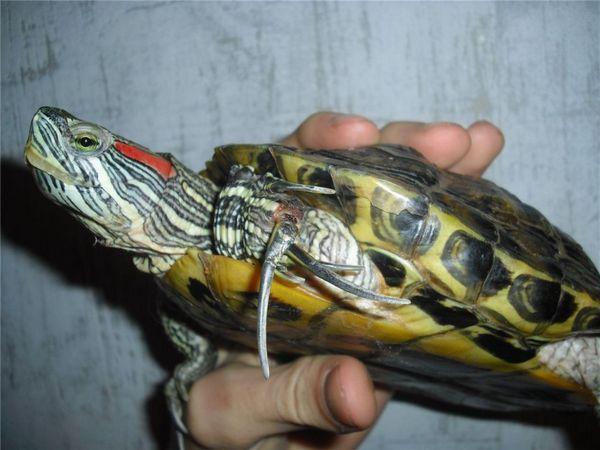 Мала кількість кальцію в організмі черепахи відразу ж позначається на її зовнішньому вигляді