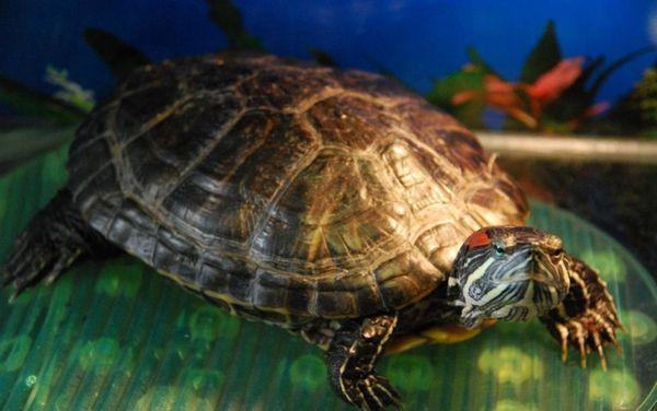Некротичний стоматит, такий поширений у змій, у черепах зустрічається не дуже часто
