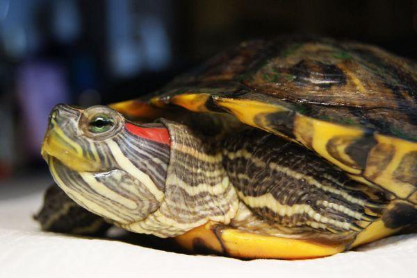 Червоновуха черепаха небезпечна для людини тим, що вона може бути носієм сальмонельозу, глистів або грибка