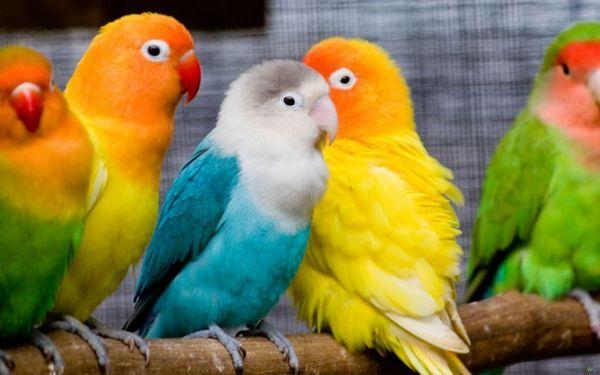 11 популярних видів папуг маленького, середнього і великого розміру