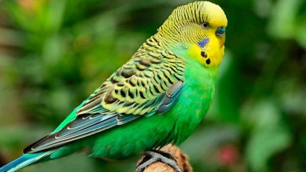 Хвилястий папуга